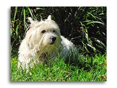 Enjoying the Sun. (fredfleming1) Tags: toydogs dogs terriers westhighlandterrier westie westies