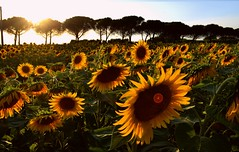 Sunflowers 🌻 (giuliaph.) Tags: flowers sunflowers sunflower girasole pisa toscana tuscany italia italy sunset tramonto fiori
