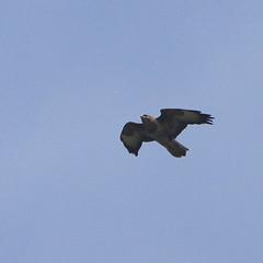 Fast Buzzard. (wurzel.pete.3.9 Million views,Ta!) Tags: 17419 buzzard food feeding uk surrey wild nature