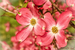 Pink Beauty (Back Road Photography (Kevin W. Jerrell)) Tags: spring dogwood pink nature nikond7200 sigmalens backroadphotography flowers