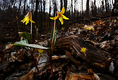 Yellow Trout Lily (Erythronium americanum) (Alex Roukis) Tags: flower wild wildflowers nature ny newyork alexroukis plants centralnewyork spring springephemeral botany lily troutlily yellowtroutlily upstatenewyork upstate