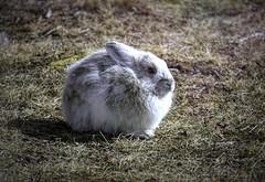 Snowshoe hare enjoying spring (JLS Photography - Alaska) Tags: alaska rabbit snowshoehare bunny jlsphotographyalaska sun sunlight animal wildlife spring serene nature