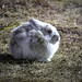 Snowshoe hare enjoying spring