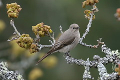Townsend's Solitaire - Observatory Hill, Victoria BC