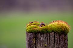 Mossy fence post (dsgetch) Tags: baroneranch ranchlife moss rural bokehlicious bokehphotography bokeh depthoffield shallowdepthoffield dof lanecounty oregon fencepost sierralupeconstruction jobsite