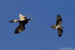 Bald Eagle vs. Osprey (mcfannon) Tags: centerport eagles osprey bald birds
