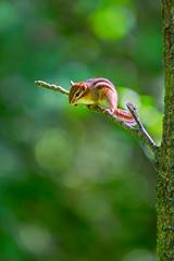 Perched Squirrel (Saptashaw Chakraborty) Tags: canada ontario summer presquileprovincialpark wildlife animals squirrel chipmunk branch tree green perch sitting