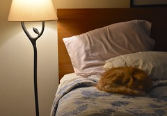 Jimmy recharging (rootcrop54) Tags: jimmy fluffy orange ginger tabby male cat tree lamp sleeping tail neko macska kedi 猫 kočka kissa γάτα köttur kucing gatto 고양이 kaķis katė katt katze katzen kot кошка mačka gatos maček kitteh chat ネコ