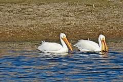 American White Pelicans, Columbia NWR, WA 4/17/19 (LJHankandKaren) Tags: columbianwr pelican americanwhitepelican