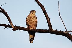 AL6I1629 (chavko) Tags: predators flickr jozefchavko falco tinnunculus common kestrel slovakia wildlife sky bird animal