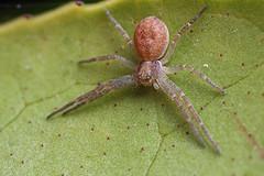 Crab spider #2 (Lord V) Tags: macro bug spider crabspider