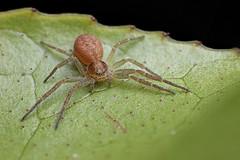 Crab spider #3 (Lord V) Tags: macro bug spider crabspider