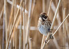 🇬🇧 Female Reed bunting sitting the reeds