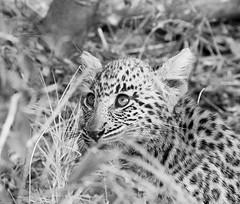 Leopard cub - Abu Concession- Delta Okavango - Botswana (lotusblancphotography) Tags: africa afrique botswana abu deltaokavango nature wildlife faune safari leopard léopard cub leopardcub bébéléopard tree arbre monochrome bw