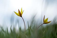 Tulipa sylvestris (AquaNat-photo) Tags: tulipa wildflower flower fleur sauvage nature biodiversity espèceprotégée macroflower macrophotography bokeh art anjou maineetloire