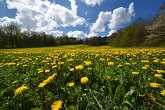 Les couleurs de la prairie (Excalibur67) Tags: nikon d750 sigma 1224f4556iidghsm paysage landscape nature arbres trees ciel sky nuages cloud printemps prairie fleurs frühling flowers spring pissenlits jaune yellow