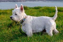 Dougal on Portstewart Harbour Hill (Deirdre Gregg) Tags: portstewart ireland sea coast causeway harbour dougal dog westie west highland terrier