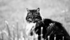 Der wesentliche Unterschied zwischen einer Katze (SpitMcGee) Tags: lizzi katze zuckerschnecke cat pet monochrom blackwhite schwarzweiss hmbt innachbarsgarten marktwain spitmcgee