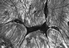 Coupe dans un tronc (michel.lample) Tags: michellample rollei retro80s pyrocat bois contax rts zeiss variosonnar