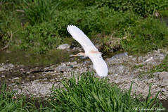 Airone guardabuoi _012 (Rolando CRINITI) Tags: aironeguardabuoi airone uccelli uccello birds ornitologia avifauna polcevera genova natura