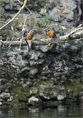 A 100 metres shot (Jud's Photography) Tags: kingfisher alcedoatthis bird bonding uk