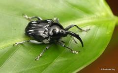Weevil with tusks, Curculionidae, Bardinae (Ecuador Megadiverso) Tags: andreaskay baridinae beetle coleoptera curculionidae ecuador tusk weevil