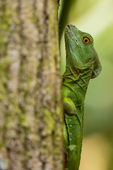 Green Basilisk (KarsKW) Tags: nature photography karskw kars klein wolterink costa rica cr february 2019 animals wildlife canon eos 750d