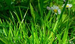 Chaparrón de esta mañana...!!! (Camelia-5) Tags: gotas hierba margaritas agua