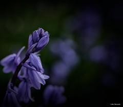 Purple flower (akatsoulis) Tags: purpleflower flowers garden housegarden wales nikon d5300 macro macrodreams