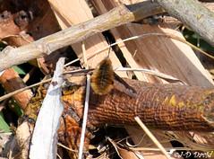 Grand Bombyle (Jean-Daniel David) Tags: nature faune réservenaturelle grandecariçaie yverdonlesbains suisse suisseromande vaud branche bois bombyle grandbombyle buisson ronce insecte insectevolant nikon nikond5600 afpnikkor70300mm14563ged