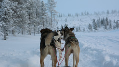 Saariselkä, Finnish Lapland (Josh Khaw) Tags: husky sled ride lapland winter arctic snow finland dogs sledding canon eos m3 travel adventure suomi koira lappi