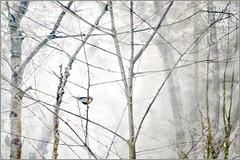 The titmouse (Eva Haertel) Tags: eva haertel canon5dmarkiii natur nature vogel bird wald forest woodland tree baum zwige äste branches titmouse meise bunt colorful effekt effect