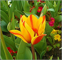 Festival Yellow .. (** Janets Photos **) Tags: uk hull citycentres publicgardens flowers colours tulips plants flora closeups macro
