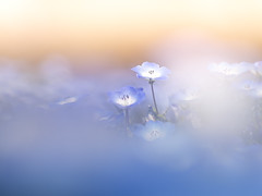 Blue heaven (Tomo M) Tags: nemophila ネモフィラ flower nature 武蔵野丘陵森林公園 bokeh macro soft pastel dreamy