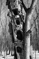 Woodpecker Holes in Dead Tree (Helios 1984) Tags: topcon35l beselertopconl topconl beselerl topcor44cmf2 topcor44mmf2 doublegausslens doublegauss rangefindercamera topcon tokyokogaku トプコン35l トプコン レンジファインダーカメラ フィルム ヴィンテージカメラ seikoshamxl leafshutter セイコーシャmxl konicaminoltadimageiv dimageivscanner minoltascanner dimageiv bwhomeprocessing expiredfilm expired35mmfilm agfarondinax rondinax35u ilfordrapidfixer daylightloadingfilmdevelopingtank sp110ec kodakhc110 ilfordfilm ilforddelta100 35mmcamera filmcamera 135mmfilm blackandwhitefilm woodpeckerhole deadtree