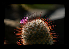 Kaktus (Pippilotta aus dem Tal) Tags: sel90m28g