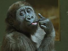 western lowlandgorilla Yanga artis 094A0302 (j.a.kok) Tags: animal artis africa afrika aap ape mammal monkey mensaap primate primaat zoogdier dier gorilla westelijkelaaglandgorilla westernlowlandgorilla lowlandgorilla laaglandgorilla yanga