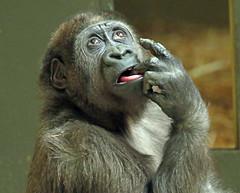 western lowlandgorilla Yanga artis 094A0299 (j.a.kok) Tags: animal artis africa afrika aap ape mammal monkey mensaap primate primaat zoogdier dier gorilla westelijkelaaglandgorilla westernlowlandgorilla lowlandgorilla laaglandgorilla yanga