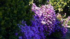 Blaukissen (cangaroojack) Tags: spring garden germany 2019 april garten frühling blumen