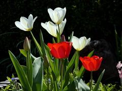 Tulpen (cangaroojack) Tags: spring garden germany 2019 april garten frühling blumen