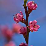 Peach Blossoms thumbnail