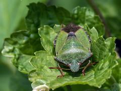 Hawthorne Shield Bug (Craig Hannah) Tags: hawthornshieldbug insect macro closeup wildlife nature saddleworth pennine oldham greatermanchester england uk craighannah canon photography photos diggle allotment spring april 2019