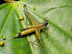 Eumastax vittata (Eerika Schulz) Tags: eumastax vittata grashüpfer grasshopper ecuador puyo eerika schulz