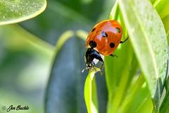 Ladybird (Jen Buckle) Tags: ladybird ladybug beetle beetles spots spotty leaves leaf nature wildlife garden gardensafari jenbuckle wwwflickrcompeoplejenbuckle nikon nikond7500 macro macrophoto macrophotograph macrophotography close closeup