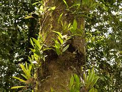 Sobralia sp. (Eerika Schulz) Tags: sobralia orchid orchids ecuador puyo eerika schulz