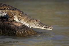 4J7A2173_Crocodile (Puce55-Elisabeth,) Tags: kenya lac baringo crocodile animal wildlife