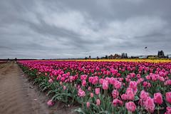 IMG_7286 (RegiShu) Tags: bloom flower flowers oregon spring tulip tulips us usa woodburn woodenshoetulipfarm unitedstatesofamerica