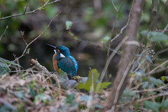 Premier Martin pêcheur de l'année ! (elyan-clementwildlife) Tags: martin martinpecheur lpo lpofrance canon canon6dmarkii tamron150600 valléedechevreuse oiseau wild wildphotography