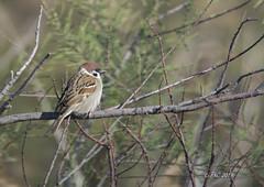 moineau friquet (Philippe30670) Tags: oiseau gard etangduscamandre moineaufriquet passermontanus eurasiantreesparrow