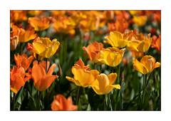 Tulpenfeuer (Pippilotta aus dem Tal) Tags: sel90m28g